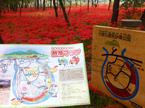 只今満開、神聖な赤い絨毯のように咲き誇る【曼珠沙華】日高市・巾着田に行ってきました!