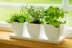 キッチンで簡単栽培! オススメのキッチン・ハーブ 6種
