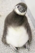 ペンギンの赤ちゃんの名前が「たいこ」に!「すみだ水族館」15,000通の応募から