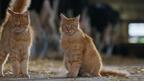 そっくり親子、ウシの通り道で毛繕い『劇場版 岩合光昭の世界ネコ歩き』