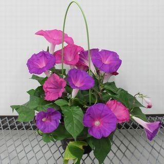 鹿児島大ら、アサガオから花の寿命を調節する遺伝子を発見