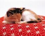 大阪府大阪市で保護猫の里親を募集中