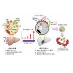 メタボを抑制するタンパク質に肝臓がんを除去する働き - 東大が確認