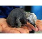 山口県・海響館で、キングペンギンのヒナが誕生!