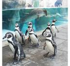 兵庫県・城崎マリンワールドで大人気のペンギンがお散歩デビュー!