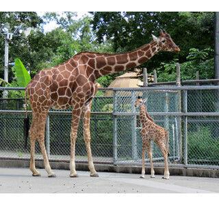 東京都・多摩動物公園でキリンの赤ちゃんが誕生!!