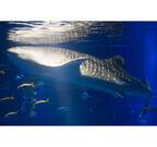 大阪府・海遊館であの巨大なジンベエザメの全長を測定!