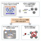 インフルエンザウイルスの増殖に関わるタンパク質を同定 - 東大とJST