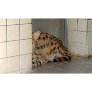 東京都・多摩動物公園に、ネコ科・サーバルキャットの女の子がやってきた!