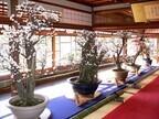 滋賀県長浜市で「長浜盆梅展」 - 樹齢400年を超える古木などの盆梅を展示