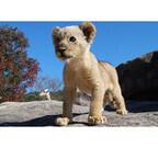 山口県・秋吉台サファリランドで、ぬいぐるみのような仔ライオンが成長中!