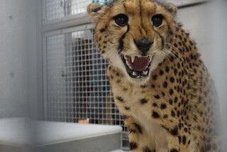 神奈川県の動物園に、南アフリカからチーターが来園!