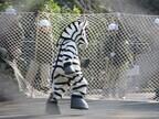 ユキヒョウが逃げた!? 東京都・多摩動物公園が対策訓練を実施