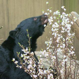 東京都・上野動物園で、春の桜イベント開催