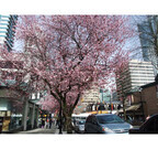 1度は行くべき! 「世界の桜の名所5選」 - ドイツの八重桜にパリの白い桜も