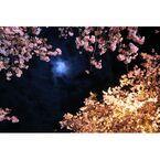 桜の撮り方 2015、夜桜撮影を成功させるポイント - 静岡・河津桜まつりで実践