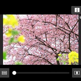 桜の撮り方 2015、曇天の桜を華やかに見せるためのセオリー - 静岡・河津桜まつりで実践