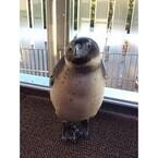 ペンギンの内股ポーズをご紹介