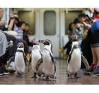 ペンギンが列車内をペタペタ行進する「ペンギン列車」、今年も運行