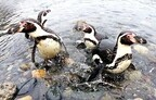水族館のペンギンが、自然の海に