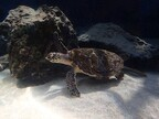 沖縄県・海洋博公園で、自然教室「ウミガメの秘密を探る」が開催