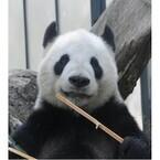 東京都・上野動物園が、ジャイアントパンダの繁殖行動の経過について報告