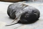 ミナミアフリカオットセイの赤ちゃんの一般公開開始 - 三重県・鳥羽水族館