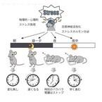 朝よりも夕・夜のストレスが体内時計を狂わせる - 早大がマウスで実験