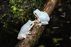 青色の「ニホンアマガエル」を展示 - 京都府・京都水族館