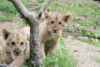 ライオンの双子の赤ちゃん、すくすくと成長中 - 富士サファリパーク