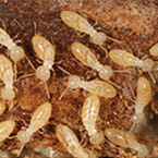 シロアリ腸内の細菌がリグノセルロースの分解に寄与