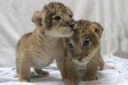 双子のライオンの赤ちゃん、公開開始!
