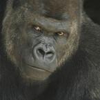 話題のイケメンゴリラを4K映像で鑑賞 - 愛知県・名古屋市「東山動植物園」