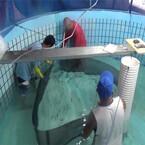 近大、キハダマグロの海面生簀での幼魚飼育に成功 - 完全養殖の実現に前進