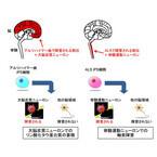 慶大、ES/iPS細胞から脳・脊髄にある任意の神経細胞を作製する技術を開発