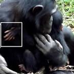 京大、障害のある野生チンパンジーを家族でケアしている様子の観察に成功