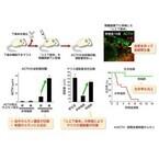 名大と理研、ヒトES細胞から下垂体ホルモン産生細胞を作製
