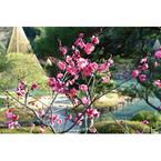 東京都北区「旧古河庭園」で紅梅が見頃 - 例年より2週間早く