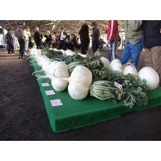 31.1kgを越えられるか! 鹿児島県ギネスに挑む「世界一桜島大根コンテスト」