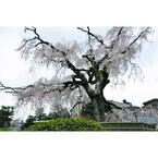 絵画にも紛う美しさ! 京都・東山で見逃したくない桜の名所をそぞろ歩く