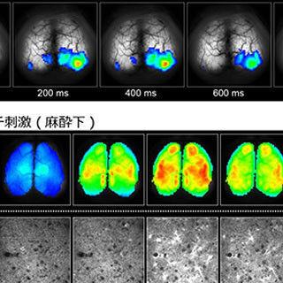 理研など、微弱な電気刺激がマウスの脳機能を活性化させるメカニズムを解明