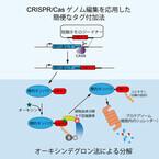 遺伝研、ヒト培養細胞内で特定のタンパク質を分解除去する方法を開発