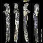 アフリカ大地溝帯以東で初の猿人化石 - 京大がケニア・ナイロビ郊外で発見