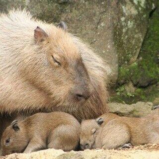 伊豆シャボテン公園、カピバラ3頭誕生! 赤ちゃんの名前を募集