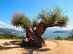 2012年6月の奇跡。樹齢1000年のオリーブ大樹が開花―小豆島ヘルシーランド