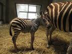 シマウマとビントロングの赤ちゃんが生まれました -鹿児島・平川動物公園