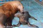 元気なトドの赤ちゃんが誕生-鳥羽水族館