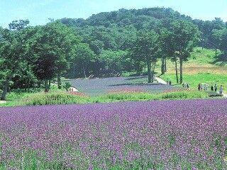 15種類、5万株と関東最大。群馬県のたんばらラベンダーパークがフルオープン