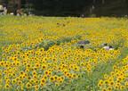 30万本のひまわりが咲き乱れる! 兵庫県丹波で7月29日「ひまわり祭り」