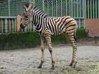 シマウマの赤ちゃん、すくすく元気に成長中です -鹿児島・平川動物公園